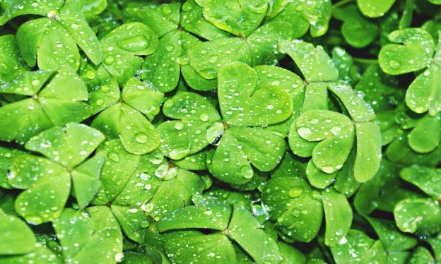 Shamrocks - Clovers - Irish